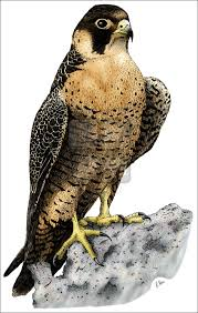 Drawingcolor Peregrine Falcon Falco Peregrinus Line Art And Full Color