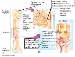 bone tissue biol 237 class notes skeletal system