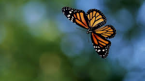 Butterflies Laptop Wallpapers - Top ...