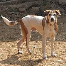 in dogs are known to survive the indian sub continent weather better than pure