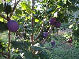 Fruit Trees For A Small Garden  Fruit Trees Plum Tree And Small Plum Tree Not Producing Fruit