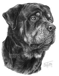 Rottweiler Disegno Stampa Giclee Di Mike Sibley Amazonit Casa E