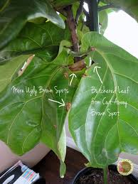 ficus lyrata unsightly brown spots all over the bottom portion of my tree s leaves eek they say fiddle leaf figs are hardy and difficult to kill