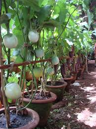 Kitchen Garden India Organic Kitchen Gardening And My Personal Musings This Blog Is