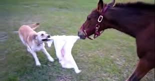 white baby horses playing. Interesting Playing After The Young Horse Has Been Weaned From Its Dam It May Be Called A  Weanling When Mare Is Pregnant She Said To  And White Baby Horses Playing R