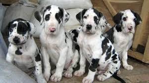 male great dane harlequin puppies