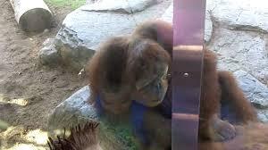 Monkey sticks finger in ass