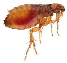 Image result for pet flea allergy