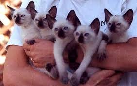 Jenis - Jenis Kucing Siam (Siamese Cats)