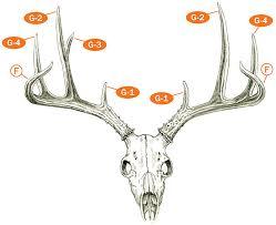Measuring And Scoring Mule And Blacktail Deer B C Club