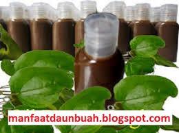 khasiat daun bungkus dari papua