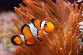 black and yellow clown fish. Perfect Black In Black And Yellow Clown Fish E