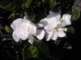gardenia august beauty