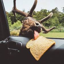 Image result for MOOSE IN CAR WINDOW GIF