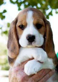 cute beagle puppies. Beautiful Puppies Adorable Cute Beagle Puppy In Hands To See More Click On Picu2026 Intended Cute Beagle Puppies