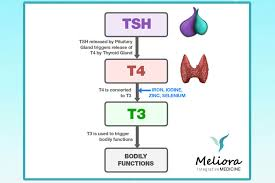 Thyroid Replacement Therapy Meliora Integrative Medicine