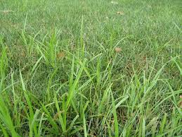 Image result for nutsedge