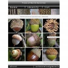 Nut Identification Chart Nc Tree Identification Nc State Extension