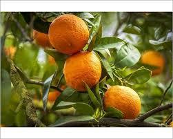 europe italy sicily an orange fruit