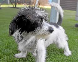 black and white terrier mix. Perfect Terrier This Small Male Black And White Terrier Mix Might Be About A Year Old  Came To The County Animal Shelter In Carson As Stray Ask For ID A4750812 Inside Black And White Terrier Mix