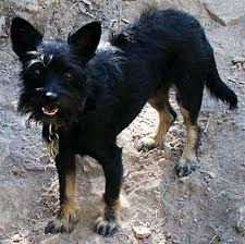 scottish terrier mix. Contemporary Terrier Life With A ScotChi Or Taco Terrier On Scottish Mix