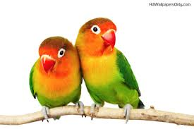 images love birds hd wallpapers lovely lovebirds png hd
