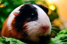 Living with Guinea Pig Allergies | Petfinder