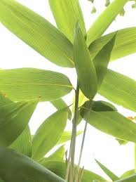 house plant leaves turning yellow medium size of bamboo aquarium plant lucky bamboo house plant why