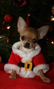 cute merry christmas wallpaper dogs. Plain Dogs All Small Dogs Images Merry Christmas Wallpaper And Background Photos In Cute Wallpaper