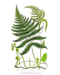Small Picture Antique Fern Print No9 Wall Art Old Botanical Book Plate