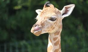 Image of: Pictures Animal Lovers Around The World Are Mourning The Death Of Baby Giraffe image Port Lympne Hotel And Reserve Daily Express Heartbreak As Baby Giraffe Dies Six Weeks After Live Streamed Birth