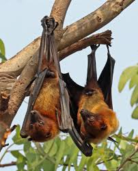 India Tree Food Coloring Chart Indian Flying Fox Wikipedia