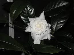 lynne s gardenia plant in bloom