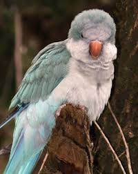 the quaker parrot also known as the monk or grey ted parakeet originated from south eastern brazil through uruguay to north eastern argentina