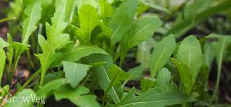 0 number of comments arugula growing in shade