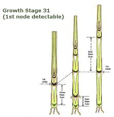 Winter Wheat Growth Stages Chart Growth Stages Teagasc Agriculture And Food Development
