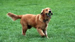 the top 7 dog toys for golden retrievers