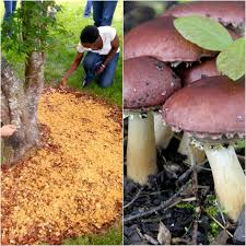 Kitchen Garden Mushrooms Making A Wood Chip Mushroom Garden Milkwood Permaculture