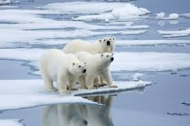 <b>polar bear</b> | Description, Habitat, & Facts | Britannica