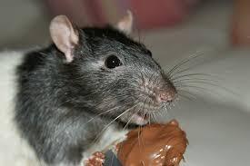 Waar kunnen ratten niet tegen