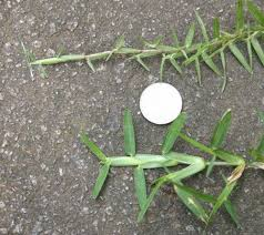 Walter Reeves Identifying Turf Grasses Pic Centipede Top Vs St