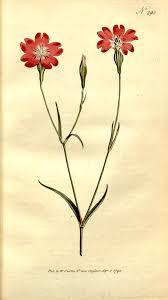 Silene coeli-rosa - Wikipedia