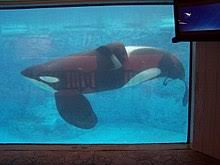killer whale attacks on humans. Tilikum Who Was Involved In Deaths Swims The Dine With Shamu Exhibit Orlando Florida For Killer Whale Attacks On Humans
