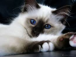 Small Picture 65 best The Seal Point Birman Cats I LOVE images on Pinterest
