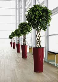 office tree. Open Braid Ficus Tree With Lechuza Delta Planter Office