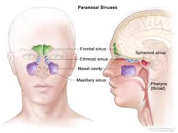 Sinus Chart Image Result For Diagram Of Sinuses Head Paranasal Sinuses