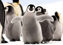 baby emperor penguins. Modren Penguins A Baby Emperor Penguin Stands Out From The Crowd Photo By Dafna Ben Nun With Baby Penguins O