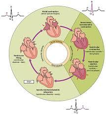 Heart Systolic And Diastolic Chart Cardiac Cycle Wikipedia