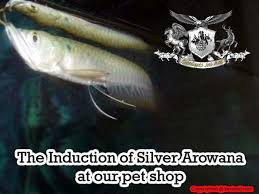 The Induction Of Silver Arowana At Our Pet Shop