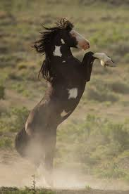 wild paint horses rearing. Wonderful Horses Wild Horse Stallion Rearing Up For A Confrontation And Wild Paint Horses Rearing R